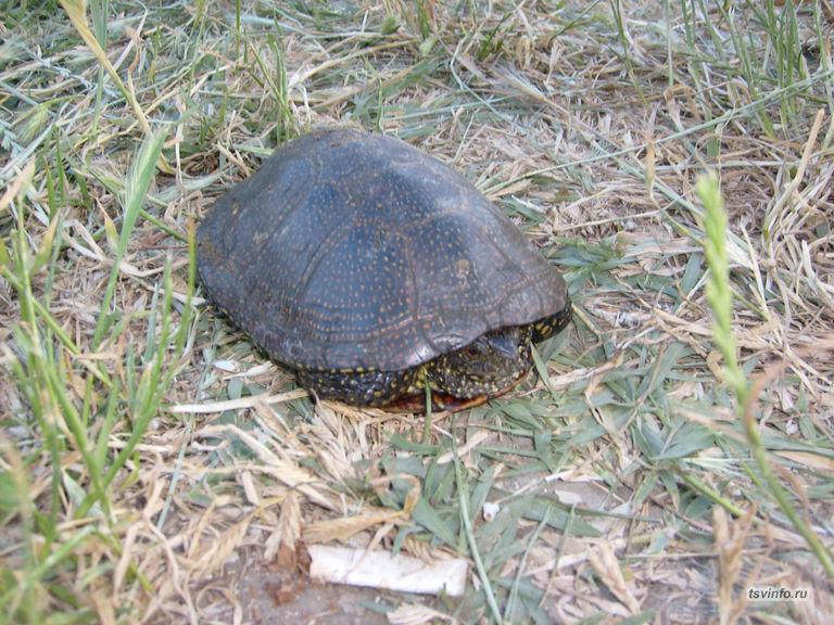 Поймалась черепаха